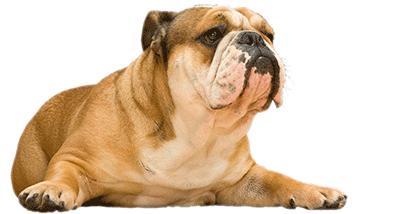Bulldog con problema de obesidad