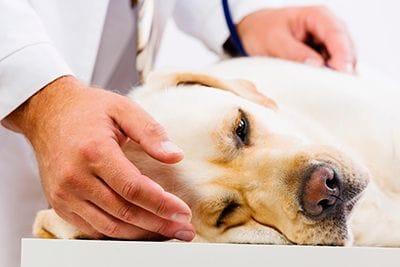 Perro mayor en chequeo veterinario