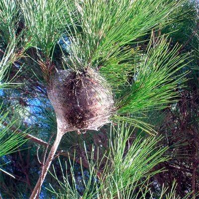 Típica bolsa de orugas de procesionaria en un pino