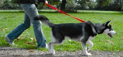 Un perro que tira de la correa es un suplicio en el paseo