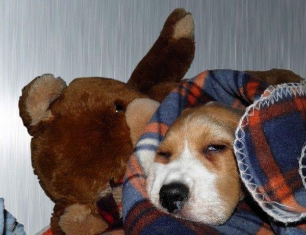 Cachorro hospitalizado el primer día de llegar a su nuevo hogar