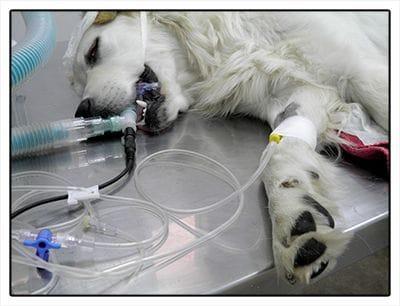 Las transfusiones a veces marcan la diferencia entre la supervivencia de un animal.