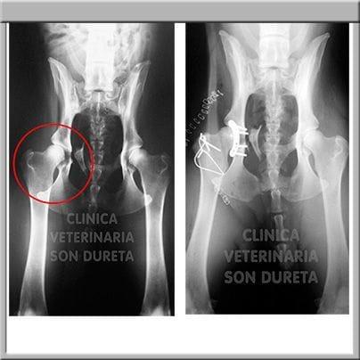 Rotura de cadera en un perro
