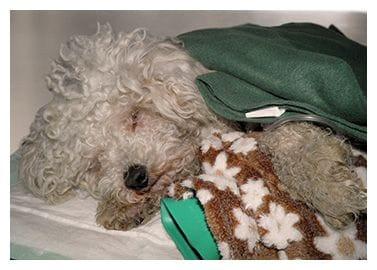 Perro atendido en el servicio de urgencias 24 horas de la Clínica Veterinaria Son Dureta