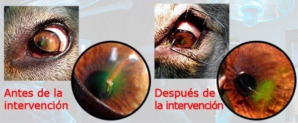 Astilla en el ojo de una perra antes y despues de la intervención