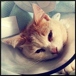 Gato con FUS en la Clínica veterinaria Son Dureta
