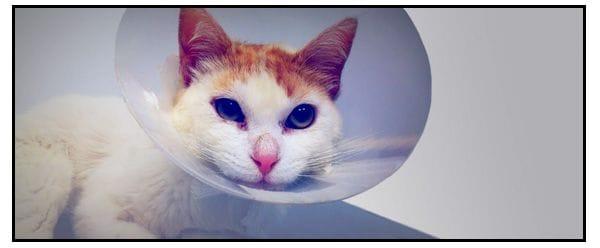 Gato con FUS ingresado en el servicio de veterinario de urgencias 24 horas de la Clinica vetreinaria sondureta