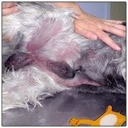 Piel purpurea de un Schnauzer infectado con Mycoplasma haemocanis  transmitido por una garrapata