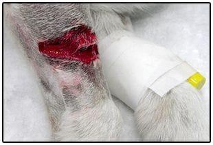 Alguna de las heridas que suturamos en la Clínica Veterinaria Son Dureta a Jazz llegaban hasta el propio hueso
