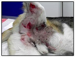 Jazz cuando acudió al servicio de urgencias 24 horas de la clínica veterinaria Son Dureta presentaba las típicas heridas en los cuartos traseros de producidas tras ser atrapado mientras huía.