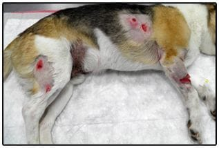El perro atacado presentaba múltiples heridas que tuvo s que atender nuestro veterinario de urgencias 24 horas en la clínica veterinaria Son Dureta