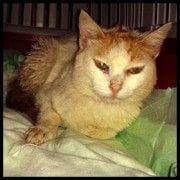 Gato ingresado con fus