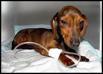 Perro hospitalizado en la clínica veterinaria son dureta