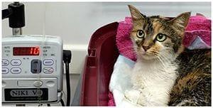 Transfusión de sangre en una gata