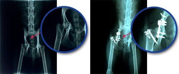 radiografía de una fractura de cadera en una gata