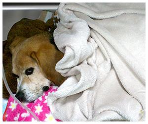 Beagle hospitalizado en la UCI de la Clínica Veterinaria Son Dureta